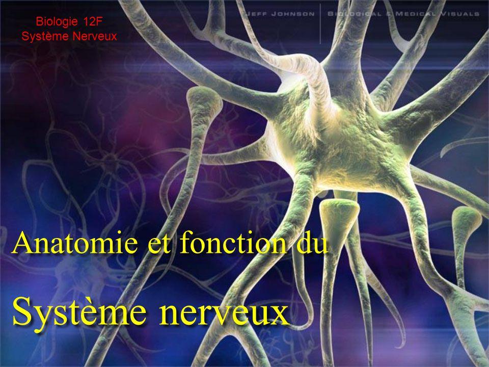 Anatomie et fonction du Système nerveux Anatomie et fonction du Système nerveux Biologie 12F Système Nerveux