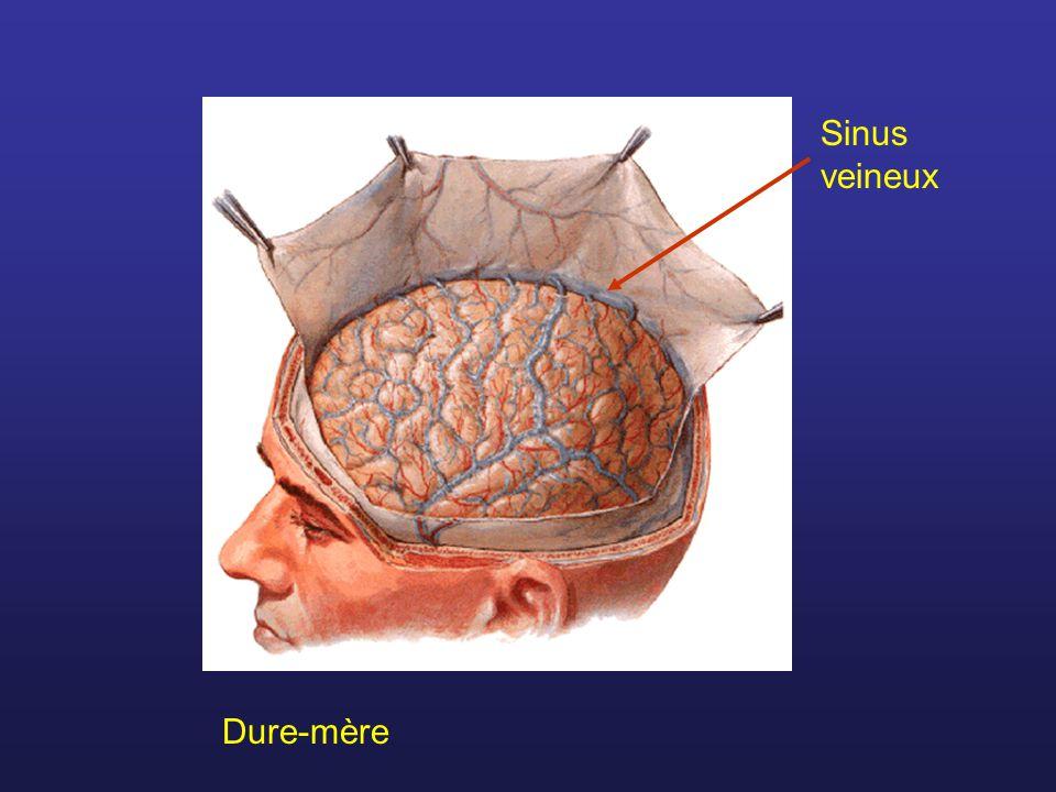 Dure-mère Sinus veineux