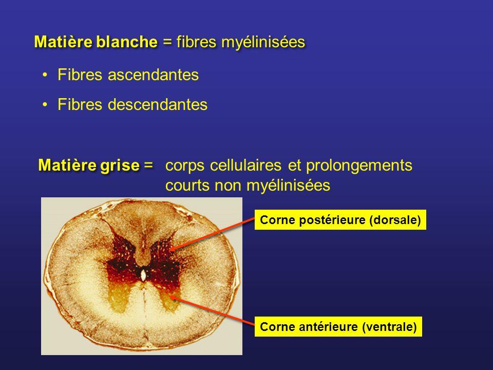 Matière blanche = fibres myélinisées Fibres ascendantes Fibres descendantes Matière grise = corps cellulaires et prolongements courts non myélinisées