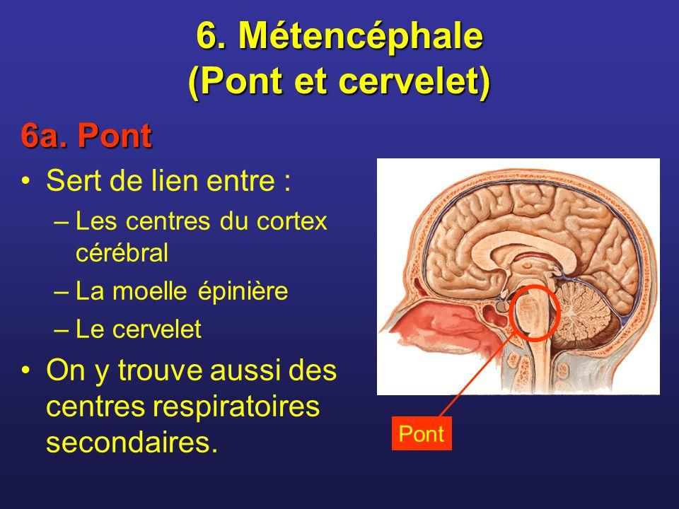 6. Métencéphale (Pont et cervelet) 6a. Pont Sert de lien entre : –Les centres du cortex cérébral –La moelle épinière –Le cervelet On y trouve aussi de