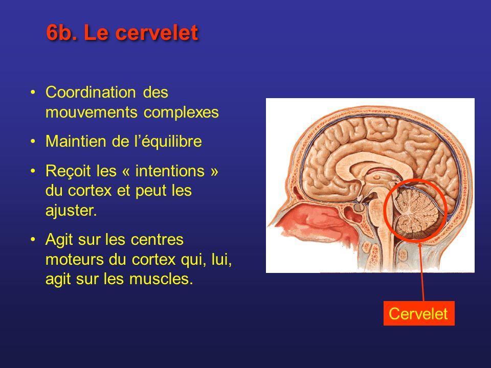 6b. Le cervelet Coordination des mouvements complexes Maintien de léquilibre Reçoit les « intentions » du cortex et peut les ajuster. Agit sur les cen