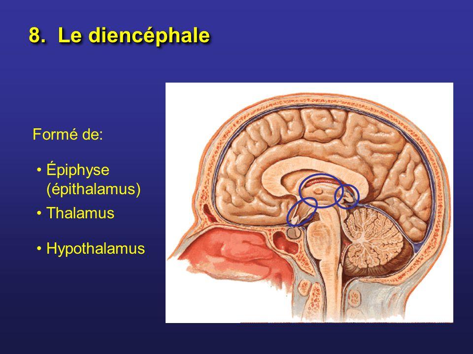 8. Le diencéphale Formé de: Épiphyse (épithalamus) Thalamus Hypothalamus