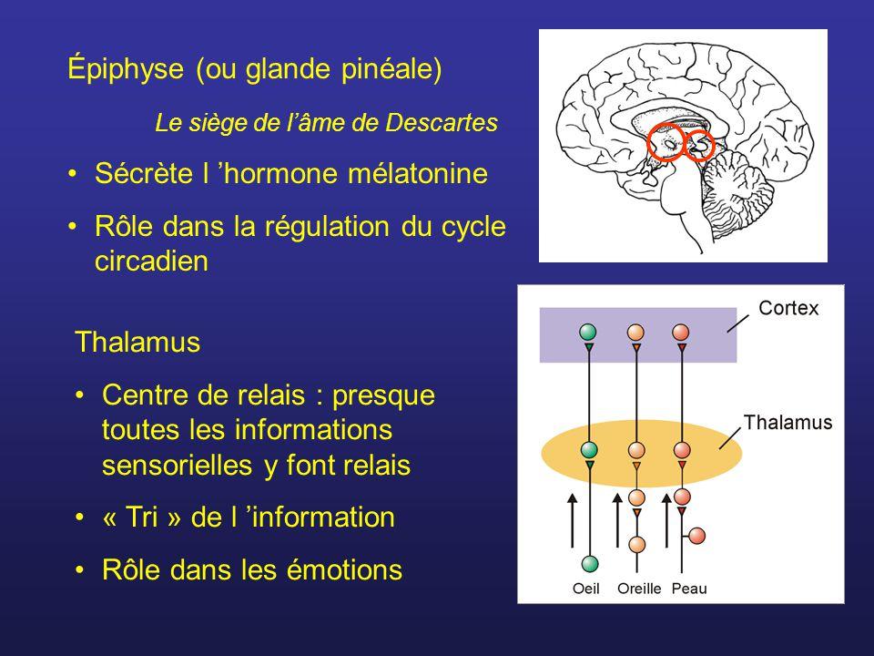 Épiphyse (ou glande pinéale) Le siège de lâme de Descartes Sécrète l hormone mélatonine Rôle dans la régulation du cycle circadien Thalamus Centre de relais : presque toutes les informations sensorielles y font relais « Tri » de l information Rôle dans les émotions
