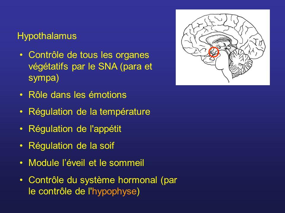 Hypothalamus Contrôle de tous les organes végétatifs par le SNA (para et sympa) Rôle dans les émotions Régulation de la température Régulation de l appétit Régulation de la soif Module léveil et le sommeil Contrôle du système hormonal (par le contrôle de l hypophyse)