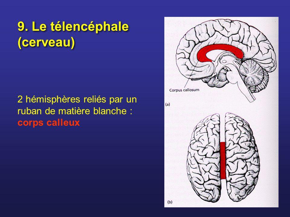 9. Le télencéphale (cerveau) 2 hémisphères reliés par un ruban de matière blanche : corps calleux