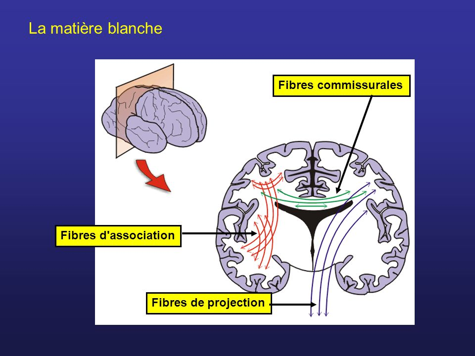 La matière blanche Fibres d'associationFibres commissuralesFibres de projection