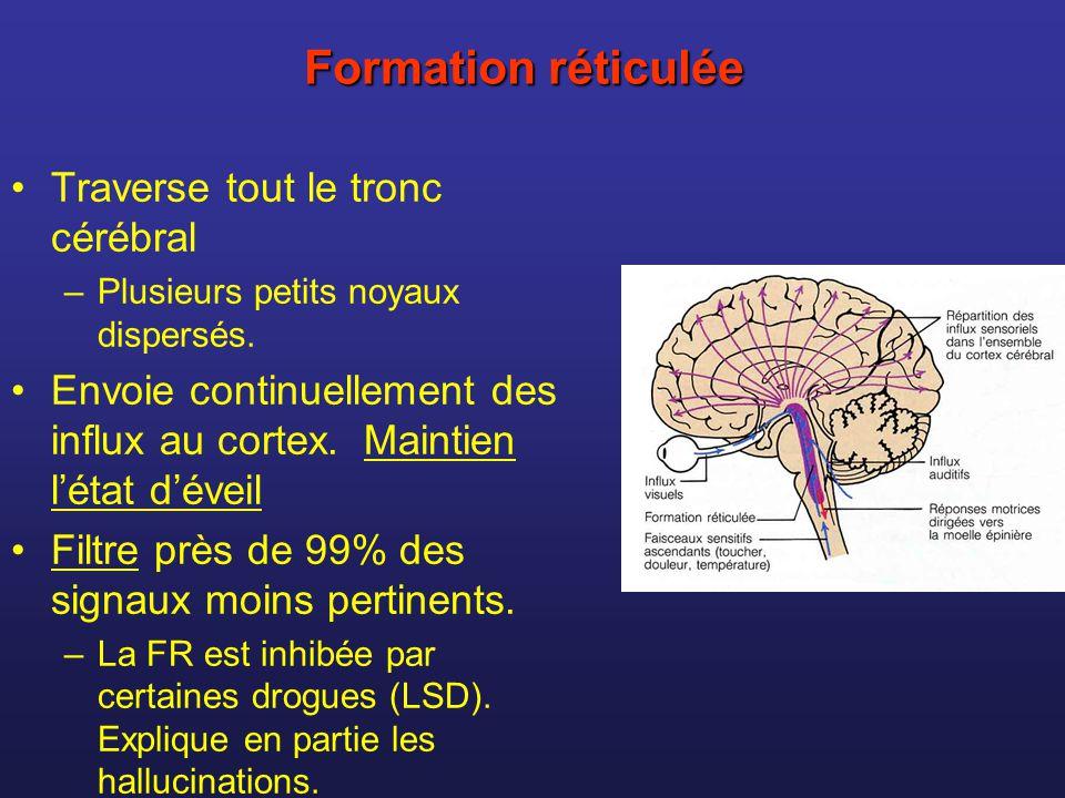 Formation réticulée Traverse tout le tronc cérébral –Plusieurs petits noyaux dispersés. Envoie continuellement des influx au cortex. Maintien létat dé