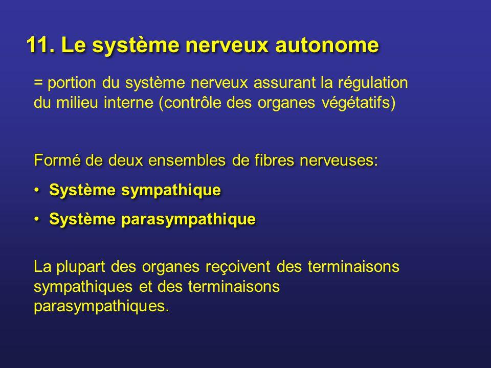11. Le système nerveux autonome = portion du système nerveux assurant la régulation du milieu interne (contrôle des organes végétatifs) Formé de deux