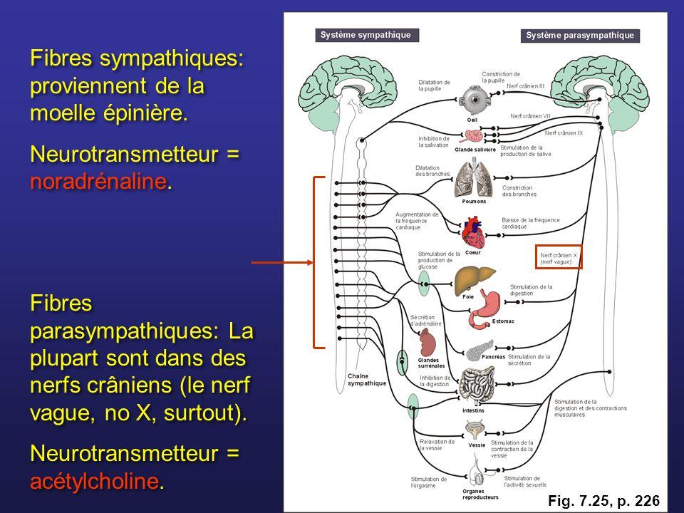 Fibres sympathiques: proviennent de la moelle épinière. Neurotransmetteur = noradrénaline. Fibres sympathiques: proviennent de la moelle épinière. Neu