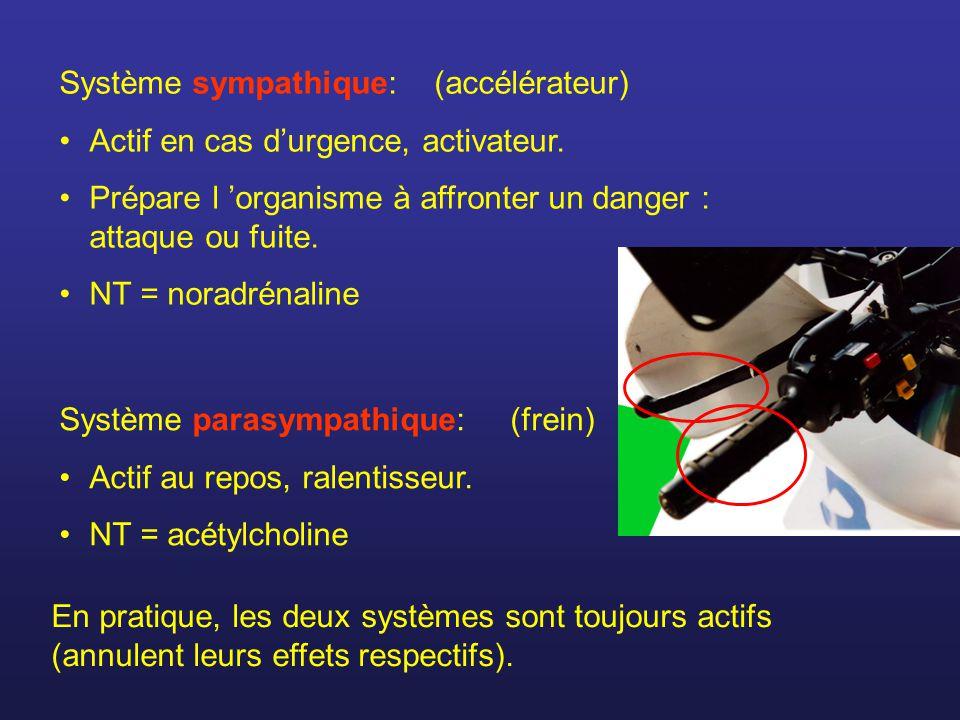 Système sympathique: (accélérateur) Actif en cas durgence, activateur. Prépare l organisme à affronter un danger : attaque ou fuite. NT = noradrénalin