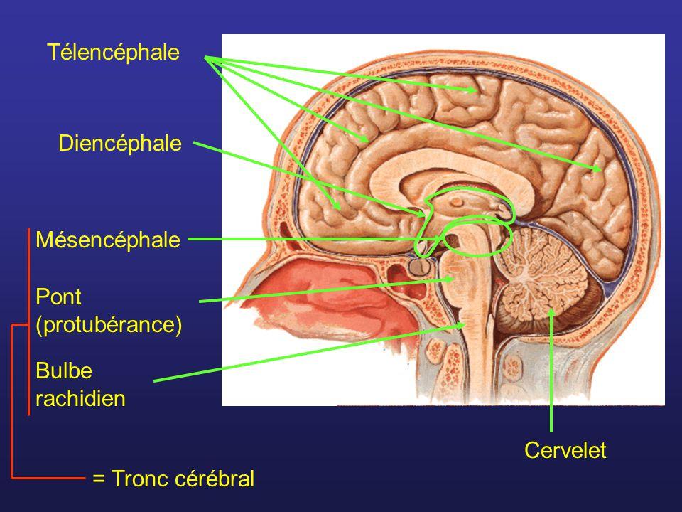 Nerf rachidien Racine postérieure Racine antérieure Ganglion spinal