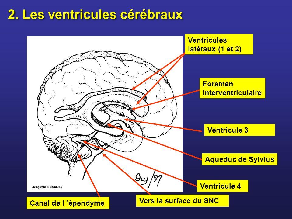Ventricules latéraux (1 et 2) Ventricule 4 Aqueduc de Sylvius Canal de l épendyme Ventricule 3 Foramen interventriculaire 2. Les ventricules cérébraux