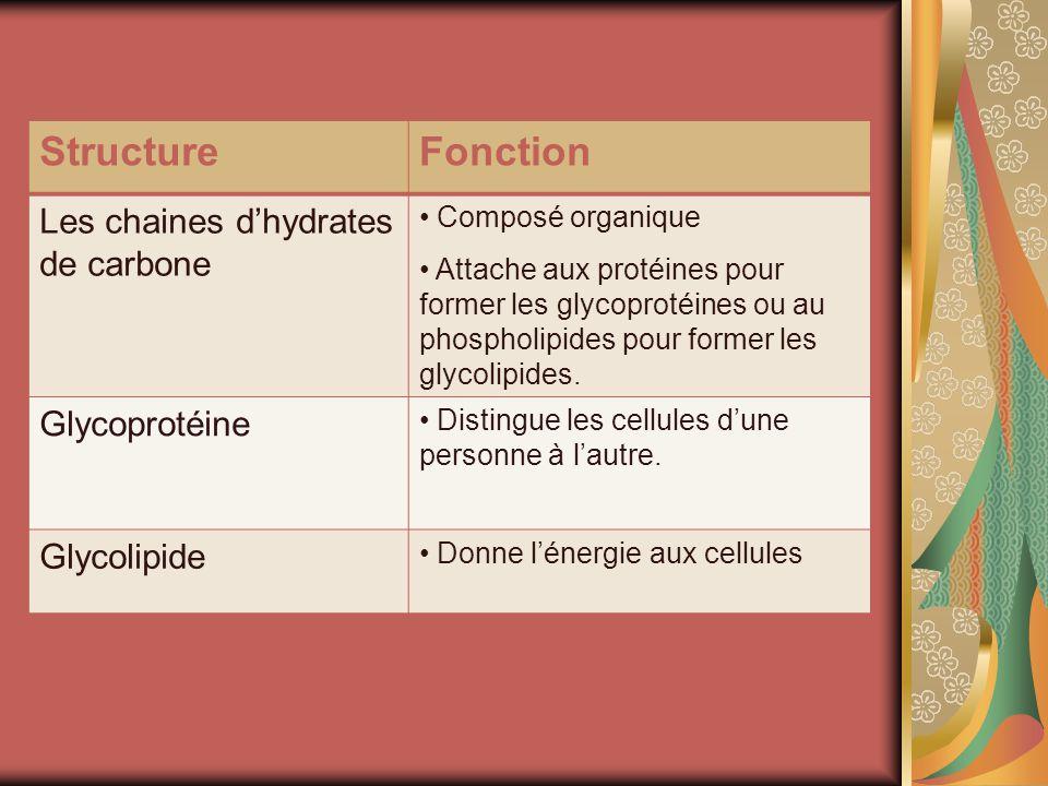 StructureFonction Les chaines dhydrates de carbone Composé organique Attache aux protéines pour former les glycoprotéines ou au phospholipides pour former les glycolipides.