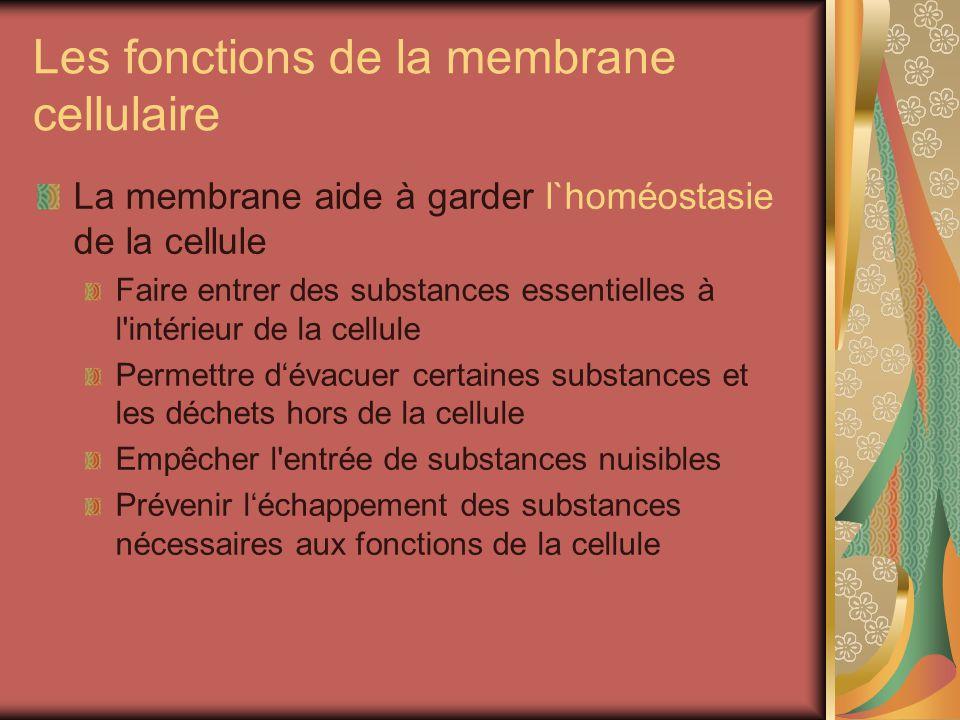 Les fonctions de la membrane cellulaire La membrane aide à garder l`homéostasie de la cellule Faire entrer des substances essentielles à l intérieur de la cellule Permettre dévacuer certaines substances et les déchets hors de la cellule Empêcher l entrée de substances nuisibles Prévenir léchappement des substances nécessaires aux fonctions de la cellule