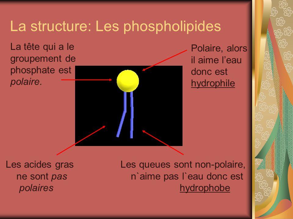 La structure: Les phospholipides La tête qui a le groupement de phosphate est polaire. Les acides gras Les queues sont non-polaire, ne sont pas n`aime