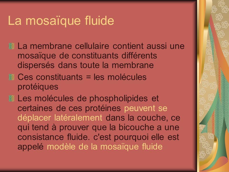 La mosaïque fluide La membrane cellulaire contient aussi une mosaïque de constituants différents dispersés dans toute la membrane Ces constituants = les molécules protéiques Les molécules de phospholipides et certaines de ces protéines peuvent se déplacer latéralement dans la couche, ce qui tend à prouver que la bicouche a une consistance fluide.