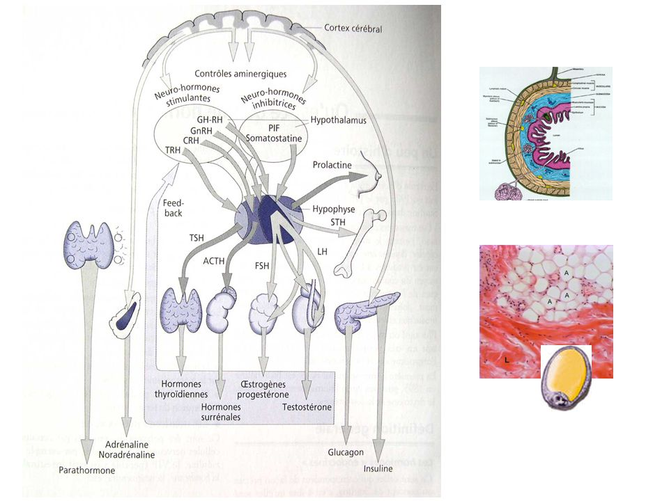Transport AlbumineTransporteurs spécifiques Transcortine : Cortisol SHBG : E, P, T TBG : T 4