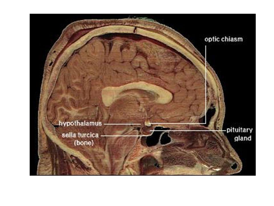 Hypophyse Avant Arrière Neuro-hypophyse Hypophyse antérieure