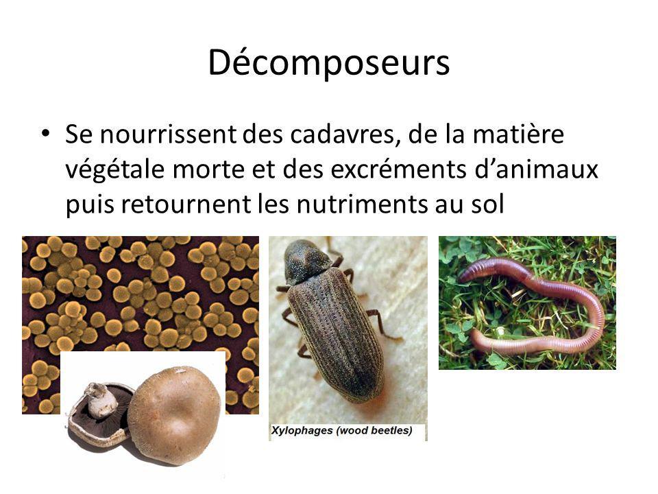 Décomposeurs Se nourrissent des cadavres, de la matière végétale morte et des excréments danimaux puis retournent les nutriments au sol