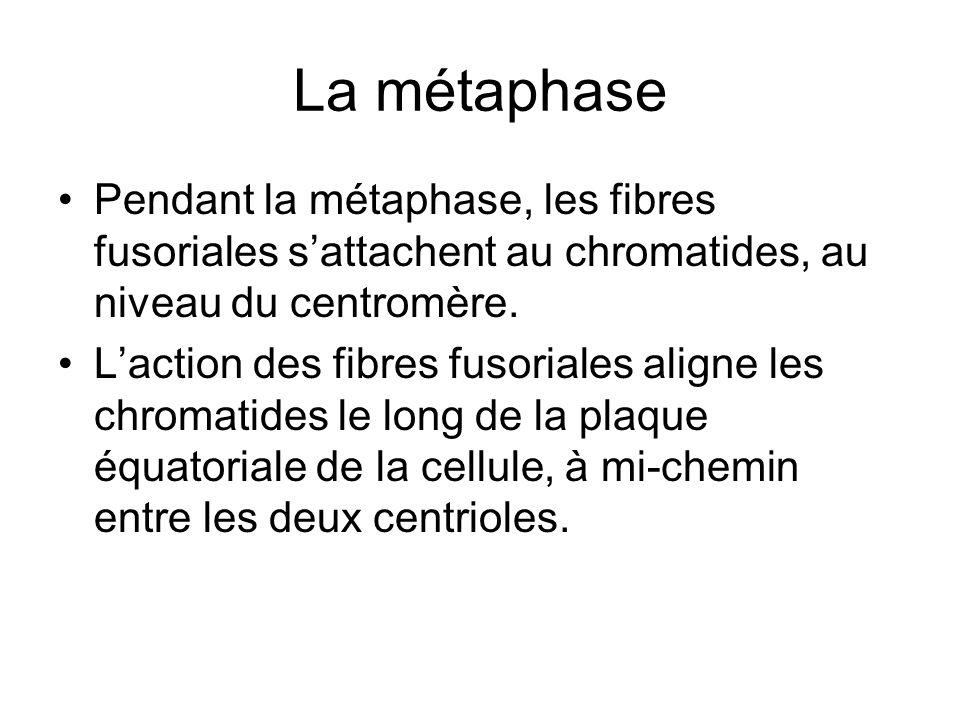 La métaphase Pendant la métaphase, les fibres fusoriales sattachent au chromatides, au niveau du centromère. Laction des fibres fusoriales aligne les