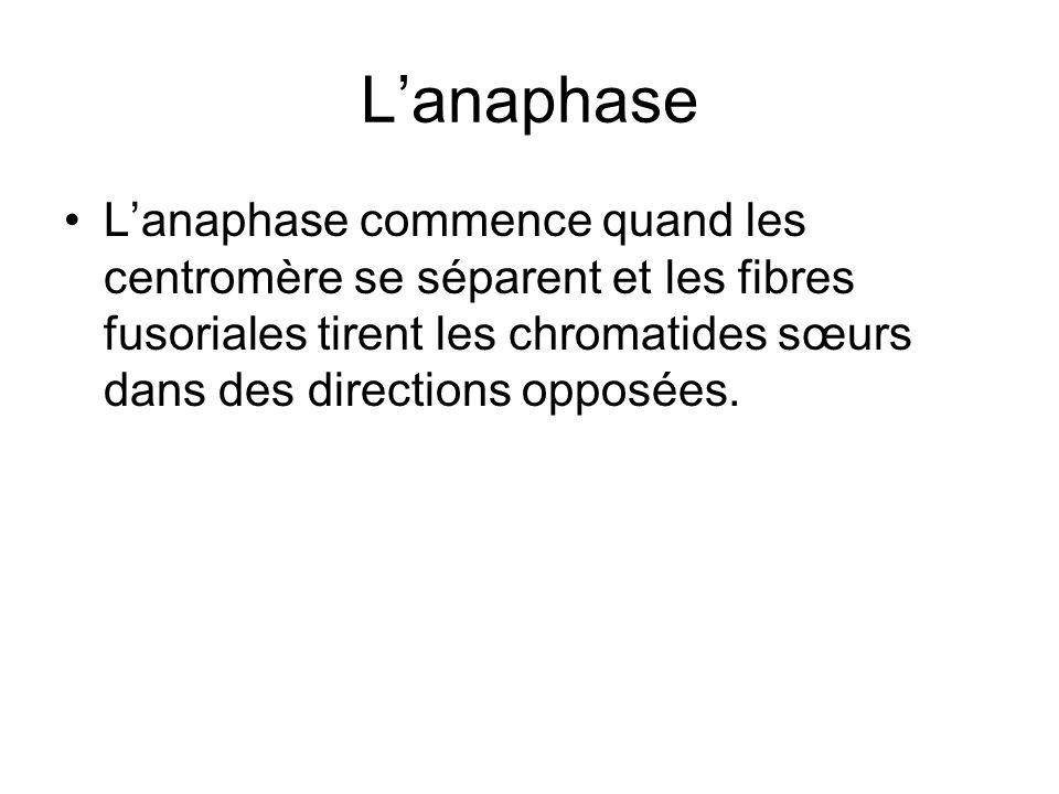 Lanaphase Lanaphase commence quand les centromère se séparent et les fibres fusoriales tirent les chromatides sœurs dans des directions opposées.