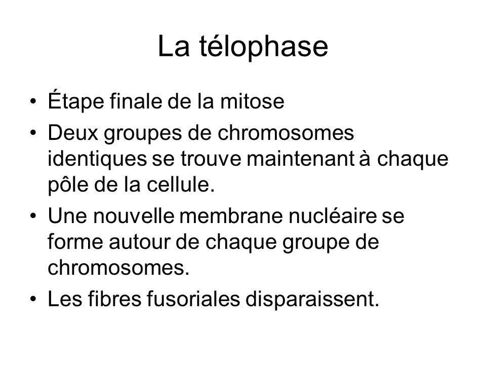 La télophase Étape finale de la mitose Deux groupes de chromosomes identiques se trouve maintenant à chaque pôle de la cellule. Une nouvelle membrane