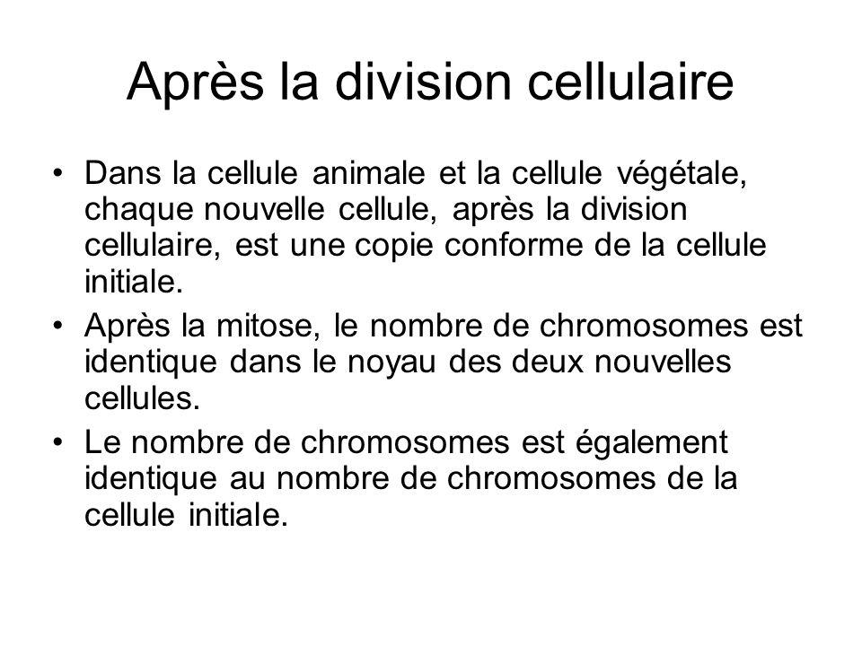 Après la division cellulaire Dans la cellule animale et la cellule végétale, chaque nouvelle cellule, après la division cellulaire, est une copie conf
