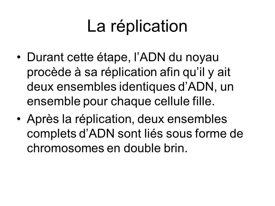 La réplication Durant cette étape, lADN du noyau procède à sa réplication afin quil y ait deux ensembles identiques dADN, un ensemble pour chaque cell