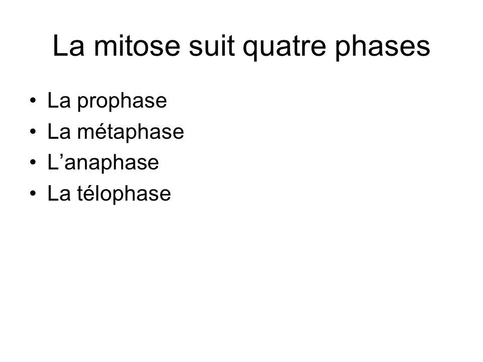 La mitose suit quatre phases La prophase La métaphase Lanaphase La télophase