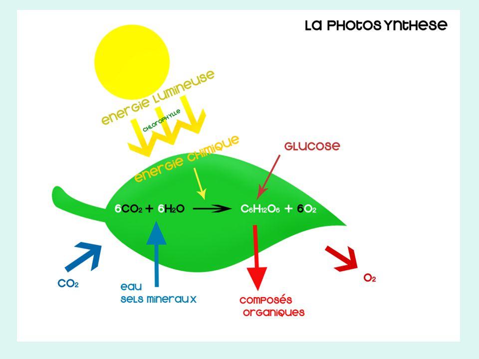 Plante verte Cellule végétale Chloroplaste La photosynthèse se fait dans une organite sappelle la chloroplaste.