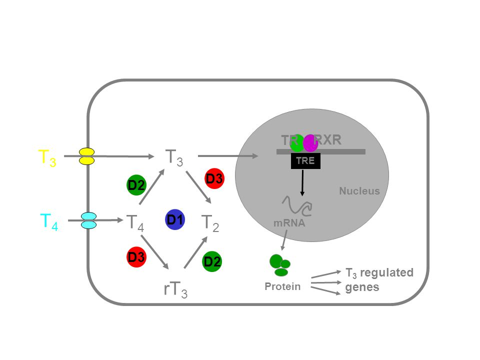 T4T4 T3T3 T3 T3 T2T2 rT 3 TRE mRNA Protein T 3 regulated genes Nucleus D1 D2 D3 T4T4 D2 D3 RXR TR