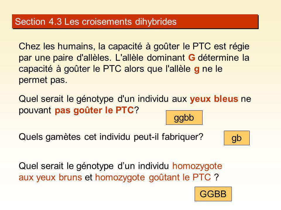 Section 4.3 Les croisements dihybrides Chez les humains, la capacité à goûter le PTC est régie par une paire d'allèles. L'allèle dominant G détermine