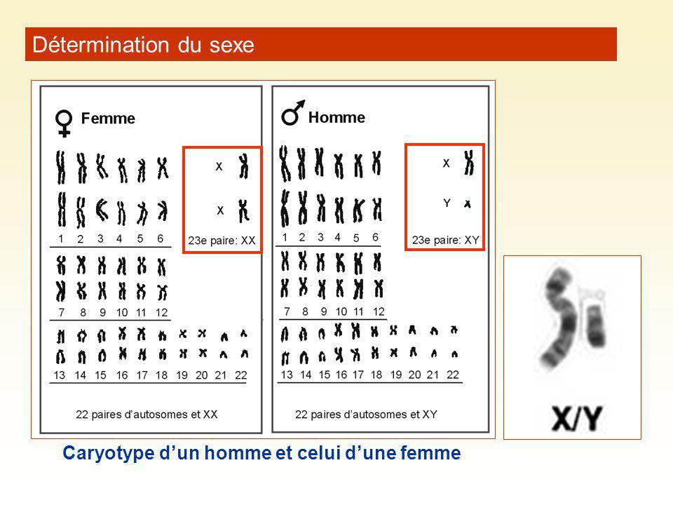 Détermination du sexe Caryotype dun homme et celui dune femme