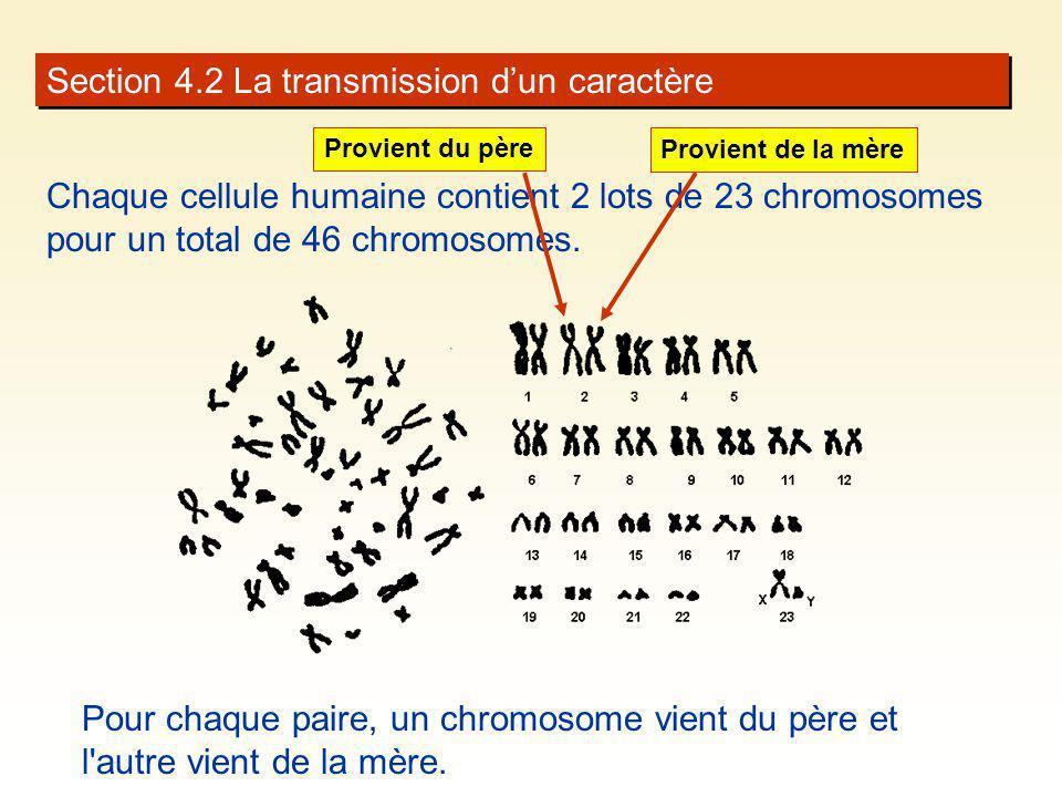 Section 4.2 La transmission dun caractère Chaque cellule humaine contient 2 lots de 23 chromosomes pour un total de 46 chromosomes. Pour chaque paire,