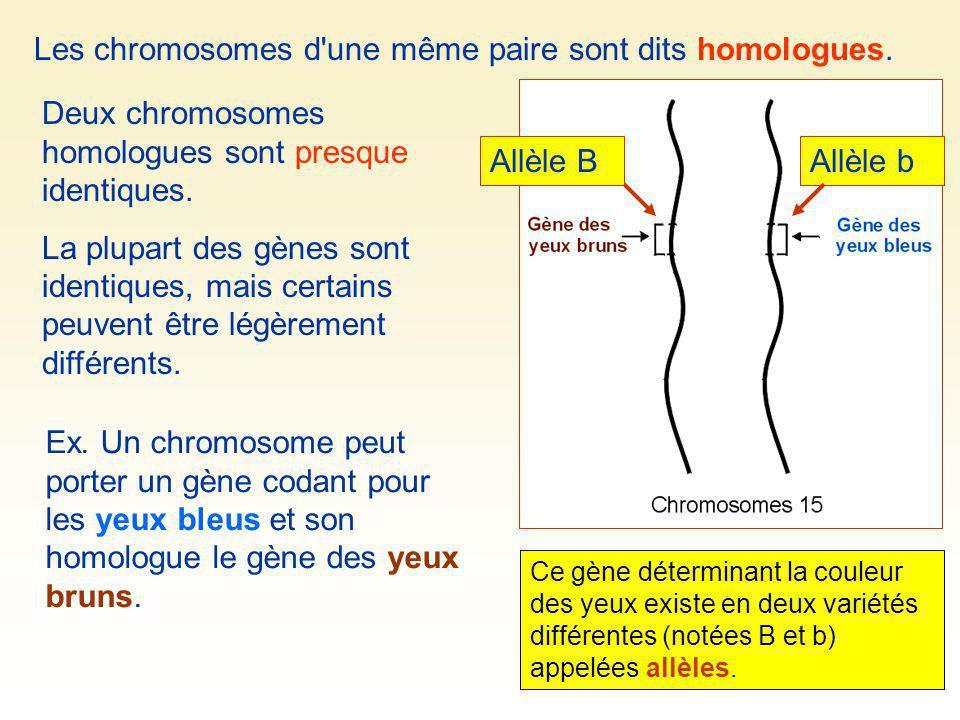 Ex. Un chromosome peut porter un gène codant pour les yeux bleus et son homologue le gène des yeux bruns. Les chromosomes d'une même paire sont dits h