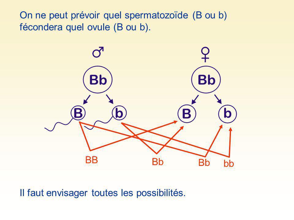 On ne peut prévoir quel spermatozoïde (B ou b) fécondera quel ovule (B ou b). BB Bb bb Il faut envisager toutes les possibilités.