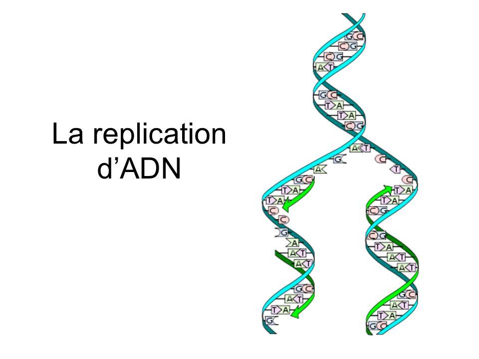 Définition Le processus par lequel les cellules copient leur ADN Elle se produit pendant linterphase, avant la mitose/méiose On commence avec une molécule d ADN à double brin et on produit deux copies identiques