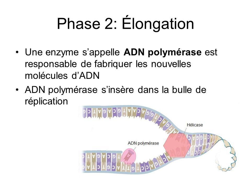Phase 2: Élongation Une enzyme sappelle ADN polymérase est responsable de fabriquer les nouvelles molécules dADN ADN polymérase sinsère dans la bulle