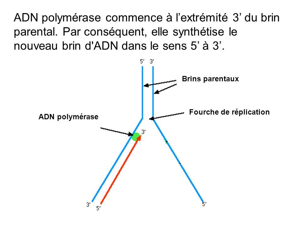 ADN polymérase commence à lextrémité 3 du brin parental. Par conséquent, elle synthétise le nouveau brin d'ADN dans le sens 5 à 3. Brins parentaux Fou