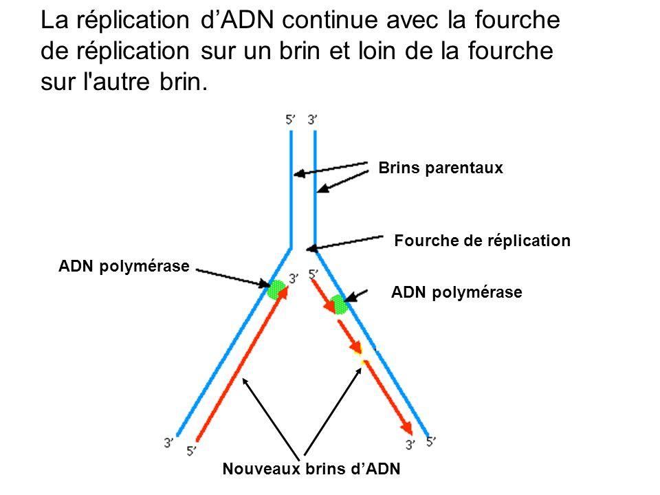La réplication dADN continue avec la fourche de réplication sur un brin et loin de la fourche sur l'autre brin. Brins parentaux Fourche de réplication