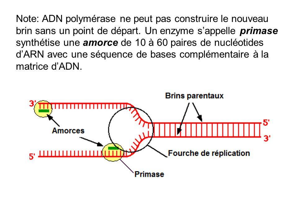 Note: ADN polymérase ne peut pas construire le nouveau brin sans un point de départ. Un enzyme sappelle primase synthétise une amorce de 10 à 60 paire