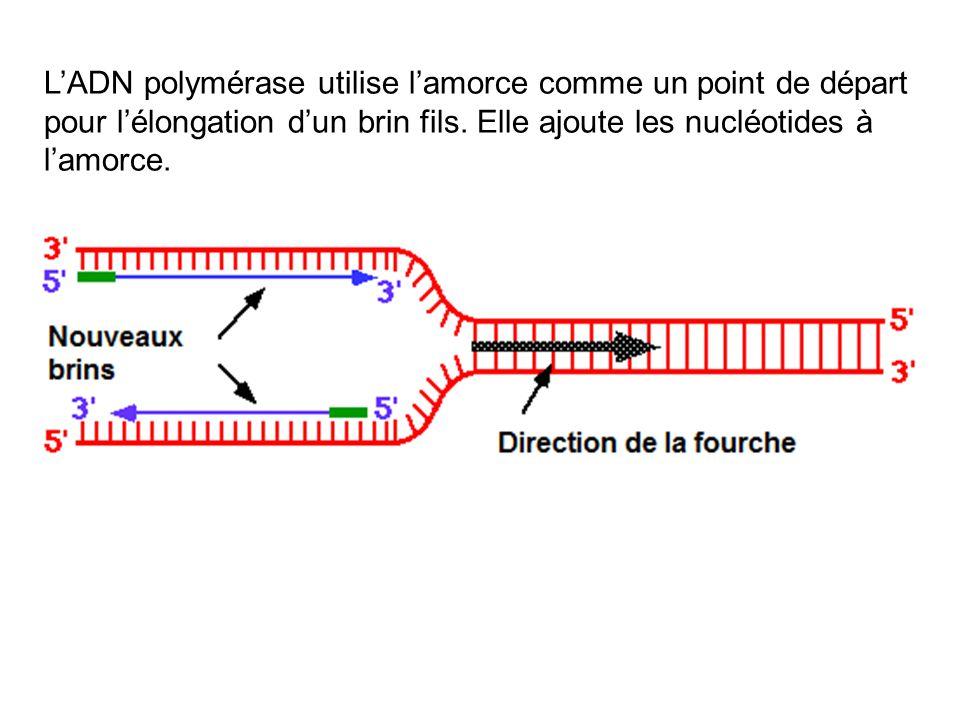 LADN polymérase utilise lamorce comme un point de départ pour lélongation dun brin fils. Elle ajoute les nucléotides à lamorce.