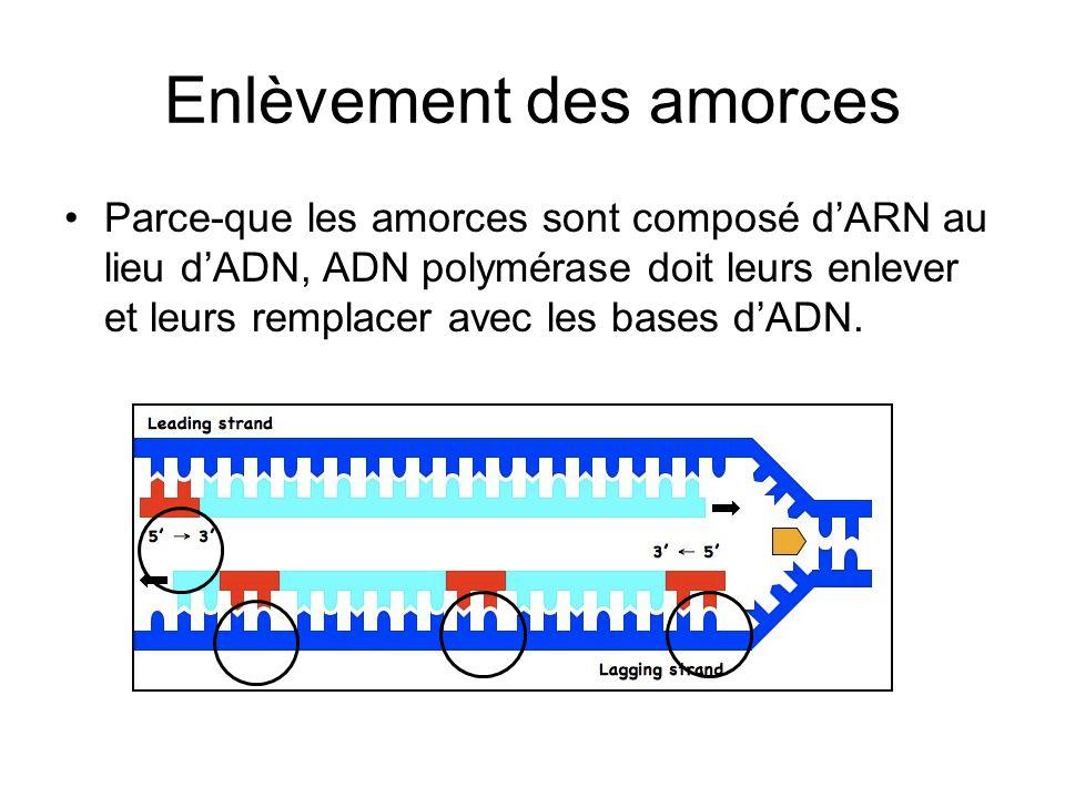 Enlèvement des amorces Parce-que les amorces sont composé dARN au lieu dADN, ADN polymérase doit leurs enlever et leurs remplacer avec les bases dADN.