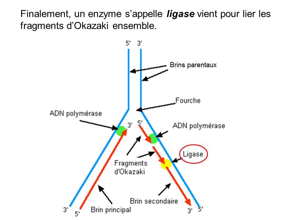 Finalement, un enzyme sappelle ligase vient pour lier les fragments dOkazaki ensemble.