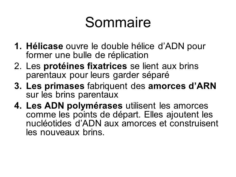 Sommaire 1.Hélicase ouvre le double hélice dADN pour former une bulle de réplication 2.Les protéines fixatrices se lient aux brins parentaux pour leur