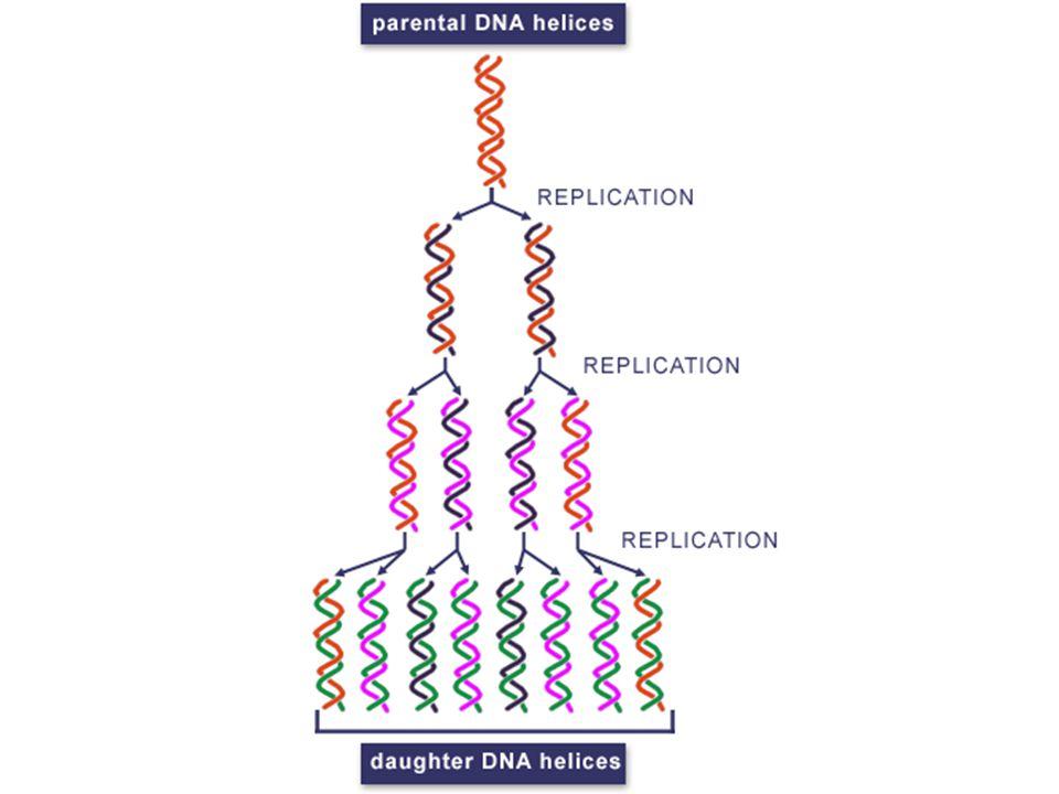 Les 3 phases de la replication: 1.Activation: Une partie de la double hélice est déroulée pour exposer les bases 2.Élongation: Deux nouveaux brins dADN sont assemblés en utilisant lADN parental comme matrice 3.Achèvement: La réplication est terminée et les nouveaux brins sont vérifiés pour les erreurs.