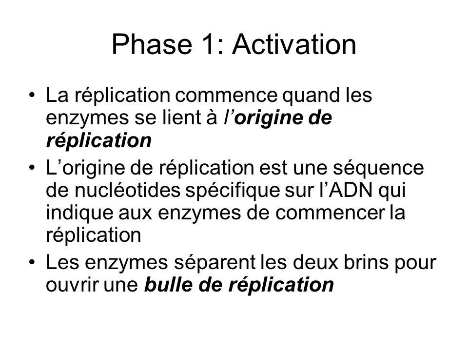 Phase 1: Activation La réplication commence quand les enzymes se lient à lorigine de réplication Lorigine de réplication est une séquence de nucléotid