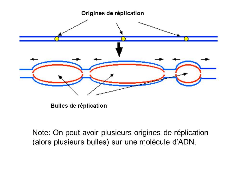 Lautre brin est aussi construit dans le sens 5 à 3, mais dans la direction opposée.