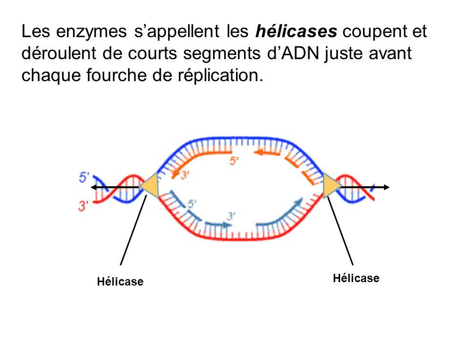 Les enzymes sappellent les hélicases coupent et déroulent de courts segments dADN juste avant chaque fourche de réplication. Hélicase