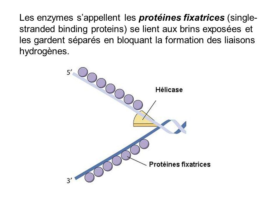 Les enzymes sappellent les protéines fixatrices (single- stranded binding proteins) se lient aux brins exposées et les gardent séparés en bloquant la